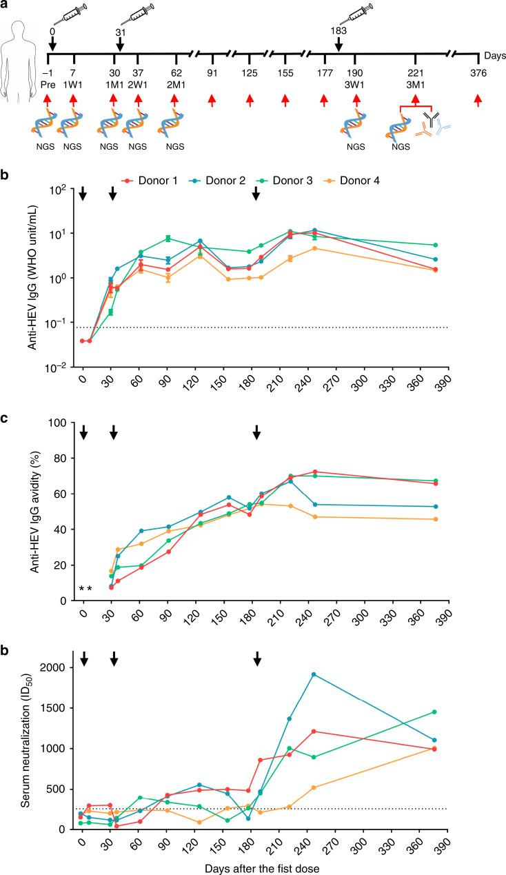 """Study design and clinical measures of HEV vaccine response. a Immunization regimen and critical time points in the longitudinal analysis of human B-cell response to the HEV vaccine, Hecolin ® . The first, second, and third doses are indicated above the time axis at days 0, 31, and 183, respectively, with black arrows and needles. The seven time points selected for antibody-repertoire sequencing are indicated below the time axis with red arrows and """"NGS."""" Vaccine-induced, p239(1)-specific monoclonal antibodies (mAbs) were isolated from samples collected 1 month after the third dose (3M1), which is labeled below the time axis. Dynamics of anti-HEV <t>IgG</t> titer ( b ), anti-HEV IgG avidity ( c ), and serum neutralization measured by the 50% inhibitory dose (ID 50 ) ( d ) during vaccination. Error bars indicate standard deviation (s.d.) in ( b ). The dash lines represent the detection limit for the anti-HEV IgG and the threshold of neutralizing capacity for the serum neutralization assays. *Only anti-HEV IgG positive sera were tested for anti-HEV IgG avidity. Source data are provided in the Source Data file."""