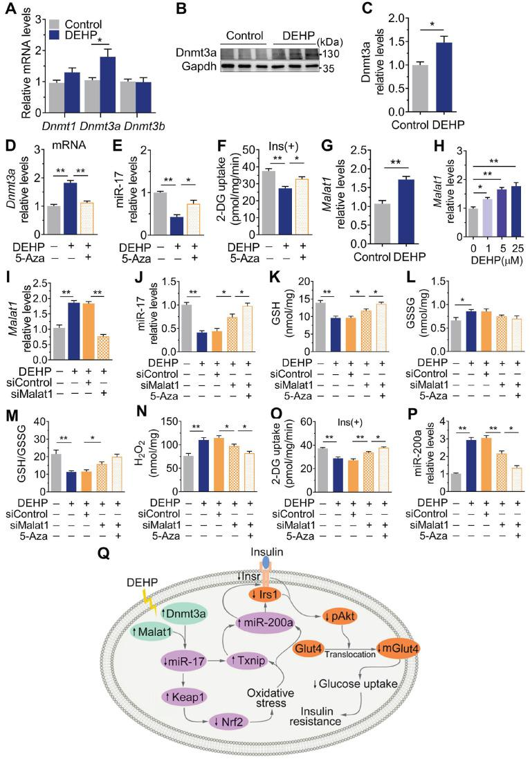 Dnmt3a and lncRNA Malat1 cooperatively suppressed miR-17 in SkM. A-C . The mRNA (A) and protein (B-C) levels of DNA methyltransferase in SkM of DEHP-exposed mice (n = 4 mice per group qRT-PCR analysis and n = 3 mice per group for western blot). Gapdh was used as the loading control. D . The mRNA expression of Dnmt3a in DEHP-exposed C2C12 myotubes co-treated with 5-Aza (n = 3 independent experiments). Gapdh was used as the loading control. E . The expression of miR-17 in DEHP-exposed C2C12 myotubes co-treated with 5-Aza (n = 3 independent experiments). U6 was used to normalized miR-17 expression. F . The insulin-stimulated 2-DG uptake in DEHP-exposed C2C12 myotubes co-treated with 5-Aza (n = 3 independent experiments). G-H . The expression of lncRNA Malat1 in SkM of DEHP-exposed mice (G, n = 4 mice per group) and DEHP-treated C2C12 myotubes (H, n = 3 independent experiments). Gapdh was used as the loading control. I . The expression of lncRNA Malat1 in C2C12 myotubes transfected with lncRNA Malat1 siRNAs and treated with 25 µM DEHP (n = 3 independent experiments). Gapdh was used as the loading control. J-O . C2C12 myotubes were co-treated with 25 µM DEHP, 5-Aza, Txnip siRNAs or corresponding control (n = 3 independent experiments). J . The expression of miR-17 normalized by U6. K . The GSH content normalized to protein content in C2C12 myotubes. L . The GSSG content normalized to protein content in C2C12 myotubes. M . The calculated GSH/GSSG ratio. N . The H 2 O 2 content. O . The insulin-stimulated 2-DG uptake. P . The expression of miR-200a normalized by U6. Q . The proposed signaling pathway involved in DEHP-induced IR. All data were presented as the mean ± SEM. * P