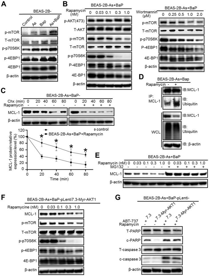 Inhibition of the mTOR pathway significantly reduces MCL-1 protein stability in arsenic and BaP co-exposure-transformed cells and reverses their apoptosis resistance. A. Representative Western blot analysis of the mTOR pathway protein phosphorylation levels in the BEAS-2B-Control, BEAS-2B-As, BEAS-2B-BaP and BEAS-2B-As+BaP cells. B. Representative western blot analysis of the effects of different concentrations of Wortmannin (0.25, 0.5, 1.0, 2.0 µM) or rapamycin (0.03, 0.1, 0.3, 1.0 nM) treatment (24 h) on the Akt/mTOR pathway protein phosphorylation levels in BEAS-2B-As+BaP cells. C. Representative Western blot analysis and the quantitated results (mean ± SD, n=3) of MCL-1 protein half-life in BEAS-2B-As+BaP cells treated with 5 µM of cycloheximide (Chx) for 0, 20, 40, 60, or 80 minutes with or without rapamycin pre-treatment (1 nM, 2 h). * p