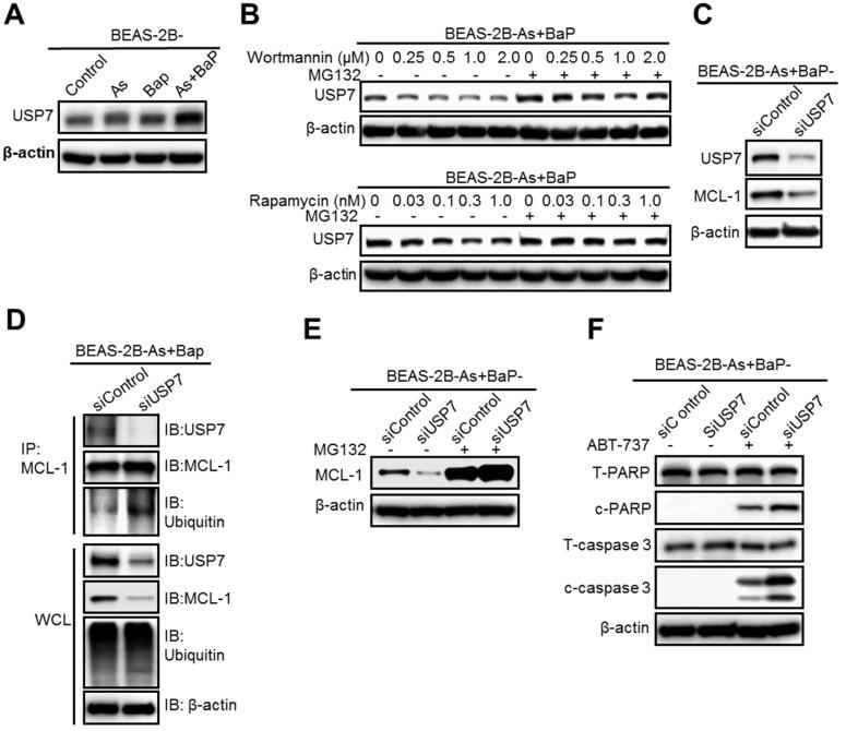 The deubiquitinase USP7 is a critical target of the mTOR pathway and reduces MCL-1 protein ubiquitination level, preventing MCL-1 proteasome degradation. A. Representative Western blot analysis of USP7 levels in BEAS-2B-Control, BEAS-2B-As, BEAS-2B-BaP and BEAS-2B-As+BaP cells. B. Representative Western blot analysis of USP7 protein levels in BEAS-2B-As+BaP cells pre-treated with different concentrations of Wortmannin or <t>rapamycin</t> for 24 h, followed by a vehicle control or 10 µM of MG132 co-treatment for 2 h. C. Representative Western blot analysis of USP7 and MCL-1 protein levels in BEAS-2B-As+BaP cells transfected with control siRNA (siControl) or USP7 siRNA (siUSP7) oligoes for 48 h. D. Representative Western blot analysis of MCL-1 IP experiment in BEAS-2B-As+BaP cells transfected with control siRNA (siControl) or USP7 siRNA (siUSP7) oligoes for 48 h. IP: immunoprecipitation; IB: immunoblotting; WCL: whole cell lysate. E. Representative Western blot analysis of MCL-1 protein levels in BEAS-2B-As+BaP cells transfected with control siRNA (siControl) or USP7 siRNA (siUSP7) oligoes for 48 h , followed by a vehicle control or 10 µM of MG132 co-treatment for 2 h. F. Representative Western blot analysis of total and cleaved PARP and caspase-3 protein levels in BEAS-2B-As+BaP cells transfected with control siRNA (siControl) or USP7 siRNA (siUSP7) oligoes for 48 h, followed by a vehicle control or 20 µM of ABT-737 co-treatment for 24 h. Similar results were obtained in the repeated experiments.
