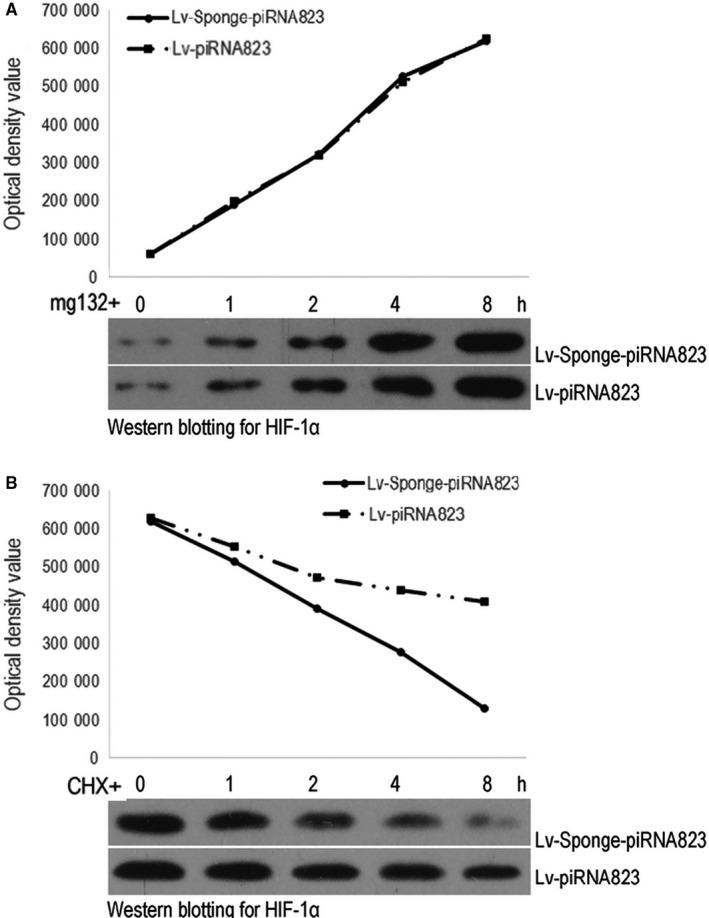 Effect of piRNA‐823 on the ubiquitylation of HIF‐1α in HCT‐116 cells. Protein half‐life detection. A, HIF‐1α change over time after protein degradation was inhibited; B, HIF‐1α change over time after protein synthesis was inhibited