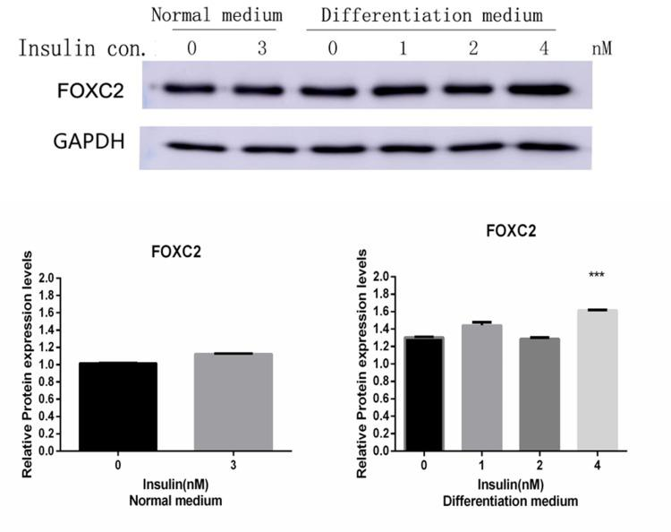 FOXC2 protein expression in adipose mesenchymal stem cells. In both normal medium (complete medium) and differentiation medium, FOXC2 protein expression in adipocytes increased after insulin treatment. In differentiation medium, FOXC2 expression was significantly increased in the presence of 4nM insulin. ***P