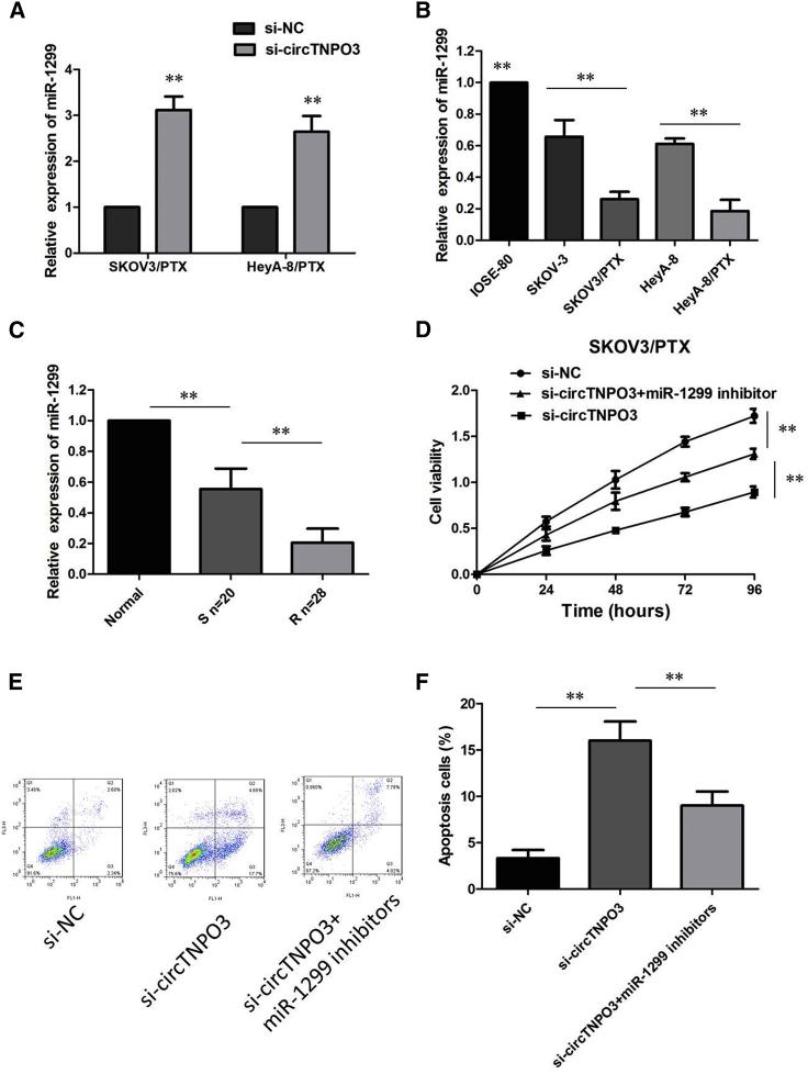 circTNPO3 Knockdown Inhibited PTX Resistance by Upregulating miR-1299 in PTX-Resistant OC Cells (A) qRT-PCR analysis showed that miR-1299 expression was obviously upregulated in si-circTNPO3-transfected SKOV3/PTX and HeyA-8/PTX cells. (B) Relative expression of miR-1299 in a panel of ovarian cancer cell lines. (C) Relative expression of miR-1299 in PTX-resistant ovarian cancer and PTX-sensitive ovarian cancer. (D) circTNPO3 knockdown-induced decrease of cell growth was partially restored by miR-1299 inhibition. (E) Silence of miR-1299 effectively attenuated the promoting effect of circTNPO3 knockdown on PTX-induced apoptosis. (F) Silence of miR-1299 effectively attenuated the promoting effect of circTNPO3 knockdown on PTX-induced apoptosis. All tests were performed at least three times. Data were expressed as mean ± SD. ∗∗p