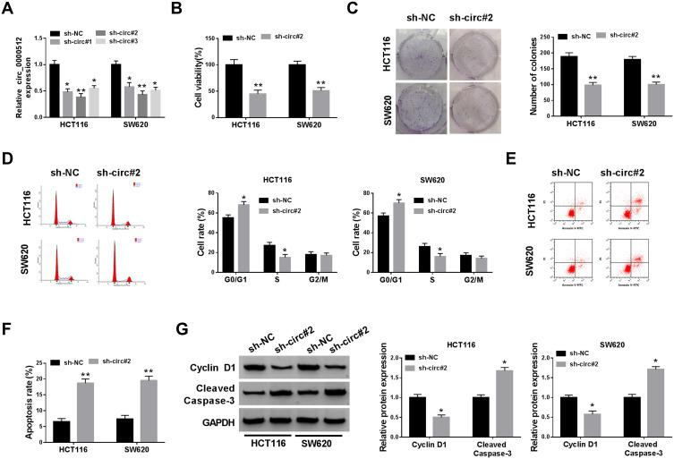 Downregulation of circ_0000512 repressed proliferation and facilitated apoptosis in CRC cells. ( A ) The abundance of circ_0000512 was examined by qRT-PCR in HCT116 and SW620 cells transfected with sh-NC, sh-circ#1, sh-circ#2, sh-circ#3. ( B – G ) HCT116 and SW620 cells were transfected with sh-NC or sh-circ#2. ( B ) Cell viability was assessed by CCK-8 analysis. ( C ) Colony formation assay was used to examine the number of colonies. ( D ) Flow cytometry was applied to determine the cell cycle distribution. ( E and F ) Flow cytometry analysis was utilized to measure the apoptosis rate. ( G ) The protein levels of Cyclin D1 and Cleaved Caspase-3 were examined by Western blot assay. * P