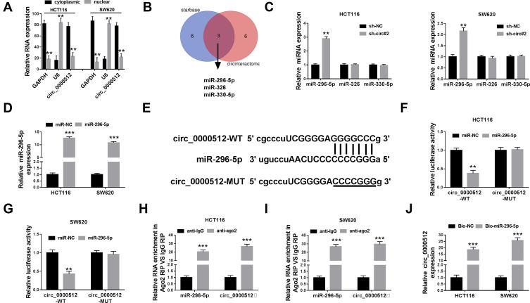 Circ_0000512 directly interacted with miR-296-5p in CRC cells. ( A ) The qRT-PCR assay determined the subcellular location of circ_0000512 in HCT116 and SW620 cells. ( B ) The potential target miRNAs of circ_0000512 were predicted by starBase and circinteractom. ( C ) The expression levels of miR-296-5p, miR-326 and miR-330-5p were detected by qRT-PCR in HCT116 and SW620 cells transfected with sh-NC or sh-circ#2. ( D ) The abundance of miR-296-5p was measured by qRT-PCR in HCT116 and SW620 cells transfected with miR-NC or miR-296-5p. ( E ) The putative binding sites between circ_0000512 and miR-296-5p were predicted by starBase. ( F and G ) The luciferase activity was measured in HCT116 and SW620 cells co-transfected with circ_0000512-WT or circ_0000512-MUT and miR-296-5p or miR-NC. ( H and I ) The enrichment of miR-296-5p and circ_0000512 was detected in HCT116 and SW620 cells incubated with anti-ago2 or anti-IgG by RIP assay. ( J ) The level of circ_0000512 was examined in HCT116 and SW620 cells transfected with Bio-miR-296-5p or Bio-NC by RNA pull-down assay. ** P