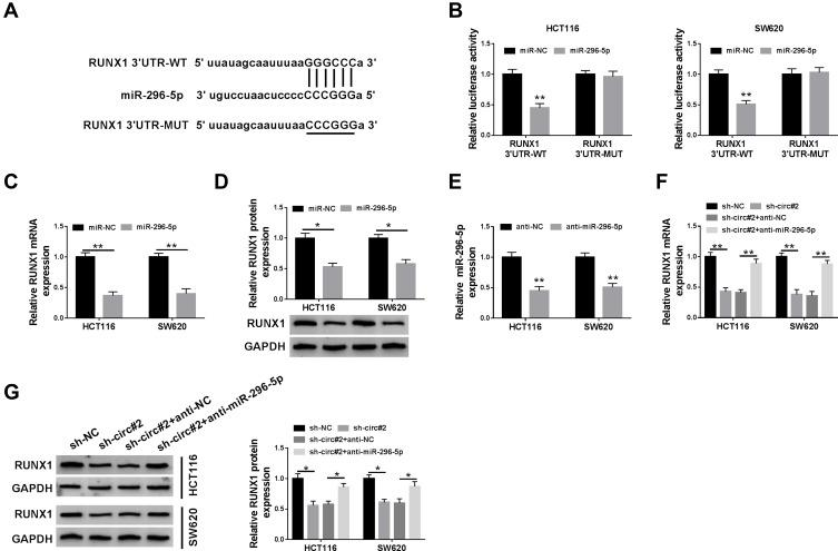 RUNX1 was a direct target of miR-296-5p in CRC cells. ( A ) The potential binding sites of RUNX1 and miR-296-5p were predicted by starBase. ( B ) The luciferase activity was tested in HCT116 and SW620 cells co-transfected with RUNX1 3ʹUTR-WT or RUNX1 3ʹUTR-MUT and miR-296-5p or miR-NC. ( C and D ) QRT-PCR and Western blot analyses were conducted to determine the mRNA and protein expression of RUNX1 in HCT116 and SW620 cells transfected with miR-296-5p or miR-NC. ( E ) The abundance of miR-296-5p was measured by qRT-PCR in HCT116 and SW620 cells transfected with anti-NC or anti-miR-296-5p. ( F and G ) The mRNA and protein levels of RUNX1 were measured in HCT116 and SW620 cells transfected with sh-NC, sh-circ#2, sh-circ#2 + anti-NC, or sh-circ#2 + anti-miR-296-5p. * P
