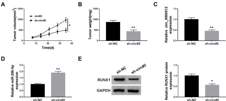Deficiency of circ_0000512 inhibited tumor growth by enhancing miR-296-5p and decreasing RUNX1. Sh-NC or sh-circ#2-transfected SW620 cells were introduced into nude mice to establish mice xenograft model. ( A and B ) Tumor volume and weight were measured. ( C and D ) The expression of circ_0000512 and miR-296-5p was analyzed by qRT-PCR in tumor tissues. ( E ) Western blot assay was used to determine the protein abundance of RUNX1 in tumor tissues. * P