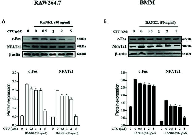 The effects of CTU on NFATc1 and c-Fos protein expression in RANKL-induced RAW 264.7 (A) and BMM (B) cells. The cells were cultured in the presence of RANKL with the CTU. After 24 h, the total protein was isolated and the protein expression levels were evaluated by western blots.* p