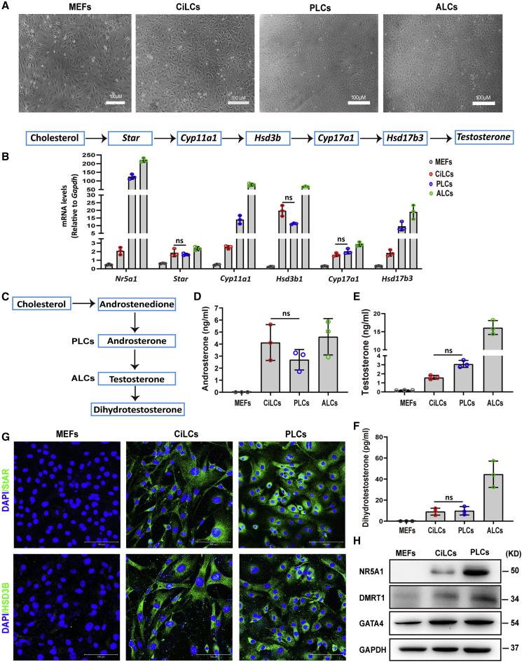 Characteristics of CiLCs (A) Morphology of MEFs, MEFs-4C, PLCs, and ALCs. MEFs-4C: MEFs were treated with the combination of four small molecules (forskolin [FSK], 20α-hydroxycholesterol, LH, and SB431542) for 21 days. Scale bars, 100 μm. (B) qRT-PCR analysis of key Leydig cell-related genes in MEFs, MEFs-4C, PLCs, and ALCs. (C) Steroidogenic pathway in PLCs and ALCs. (D–F) Production of androsterone (D), testosterone (E), and dihydrotestosterone (F) by MEFs-4C, PLCs, and ALCs. (G) Immunostaining of the Leydig cell markers StAR and HSD3B in MEFs-4C and PLCs. (H) Representative western blotting for the protein expression in MEFs-4C and PLCs. The data were obtained from at least three independent experiments and were presented as mean ± SD values. ns, not significant. See also Figure S4 .