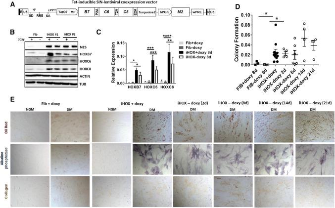 """Regulated expression of HOXB7, HOXC6 and HOXC8. To address the question whether the reprogrammed state of the generated VW-MSCs is stable or not, a doxycycline-inducible retroviral expression vector (""""all-in-one tet-on"""" system) for controllable expression of the HOX co-expression cassette was generated. a Scheme of the self-inactivating lentiviral vector for doxycycline-inducible expression of the coding sequences of HOXB7 , HOXC6 and HOXC8 separated by 2A esterase elements together with the gene encoding the reporter TURQUOISE2 fluorescent protein. b Primary human fibroblasts were transduced with the doxycycline inducible SIN vector encoding for the HOX code. Transduced cells (iHOX) were treated with doxycycline (0.2–0.5 µg/ml) 48 h after transduction, sorted for cyan fluorescence after expansion (additional 4–6 days) and then cultured in MSC medium. Mock-transduced fibroblasts either doxycycline-treated or not were used as control. Western blot analysis of total HOXB7, HOXC6 and HOXC8 protein expression as well as of Nestin (NES) marker protein expression was performed from whole cell lysates of HOX-transduced and control fibroblasts with or without doxycycline withdrawal for 4 days. Beta-actin (ACTIN) and alpha-tubulin (TUB) were included as loading controls. # Fibroblasts derived from (2) different healthy donors. No changes of the doxycycline-induced HOXB7, HOXC6 and HOXC8 protein expression levels were detectable 4 day after doxycycline withdrawal. c Relative amounts of transcripts of the introduced HOX genes were further determined by qRT-PCR 8 days after doxycycline withdrawal (biological replicates: n = 4 per group and gene; P by two-way ANOVA, followed by post hoc Tukey's multiple comparisons test: * P ≤ 0.05; ** P ≤ 0.01; *** P ≤ 0.005; **** P ≤ 0.001). Relative transcript levels of analyzed genes were normalized to beta-actin mRNA (set as 1). No significant down-regulation of the doxycycline-induced HOXB7, HOXC6 and HOXC8 mRNA expression levels were dete"""
