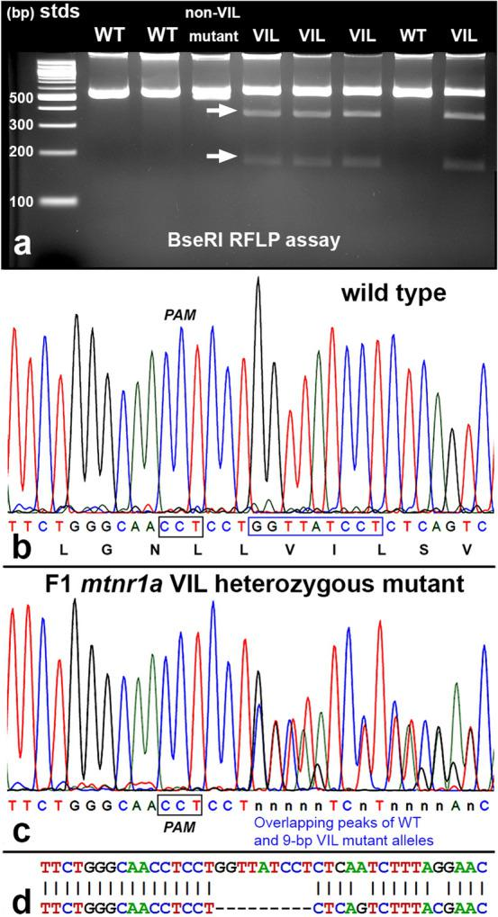 Identification of heterozygous F1 animals with CRISPR/Cas9 indel mutations of the mtnr1a gene. ( a ) Representative RFLP analysis shows that PCR products of mtnr1a VIL heterozygotes display two predicted cleavage bands (arrows), whereas WT and non-VIL mutant DNA is not cleaved. The creation of a BseRI site by the VIL deletion is illustrated in Supplementary Fig. S3 . ( b ) Direct PCR Sanger sequencing chromatogram of F1 WT progeny display prominent peaks for all bases in the T2 sgRNA target area. The T2 PAM sequence (CCT) is boxed in black, and the downstream 9-bp sequence of the mtnr1a VIL deletion mutation is boxed in blue. The corresponding amino acid sequence is shown below the nucleotide codon sequence. ( c ) In an F1 tadpole heterozygous for the mtnr1a 9-bp (VIL) deletion, the trace decomposes (i.e., mixed base calls) at the predicted target site 4-bp downstream of the T2 PAM site, and continues to the end of the trace, as expected for a heterozygous indel mutation. The decomposed sequence represents the overlapping peaks of the mtnr1a WT and VIL alleles. ( d ) Partial view of alignments from Poly Peak Parser ( https://yosttools.genetics.utah.edu/PolyPeakParser/ ) output revealing the heterozygous 9-bp mtnr1a VIL deletion mutation. The WT allele is the top line and the mutant allele is the bottom line.
