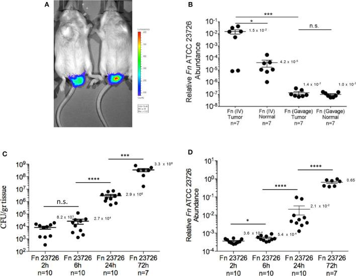 Kinetics of F. nucleatum ATCC 23726 enrichment in the CT-26 orthotopic model. (A) Detection of implanted CT-26 cells stably transfected with the luciferase (luc) gene under the mucosa of the distal rectum of C57BL/6 wild-type mice. (B) Relative fusobacterial gDNA abundance (2 −Δ Ct ) in tumor samples and in adjacent normal colon samples from CT26 transplanted BALB/cJ mice inoculated once with 5 × 10 7 -1 × 10 8 intravenously (IV) or three times by oral gavage (Gavage) with 10 ~10 F. nucleatum ATCC 23726. * p