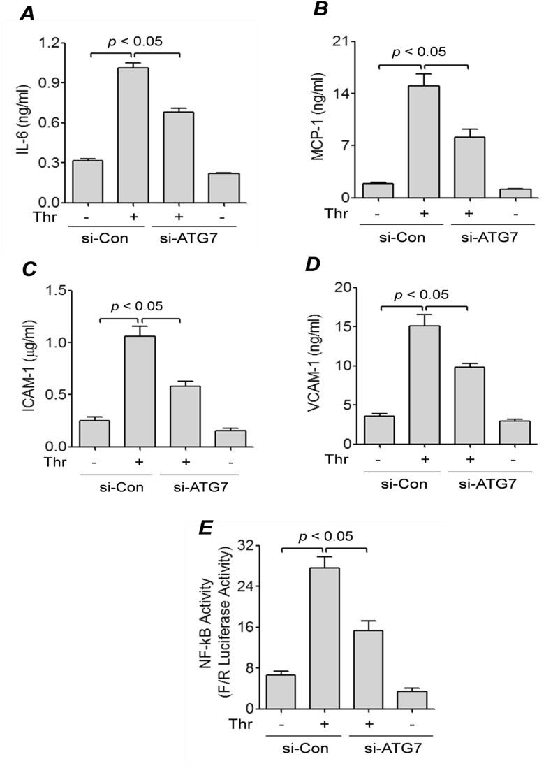 """ATG7 knockdown inhibits thrombin-mediated expression of inflammatory proteins and NF-κB activity. HPAEC were transfected with si-Con or si-ATG7 for 48 h and then treated with thrombin (5 U/ml) for 6 h. ( A , B ) Conditioned media was collected from the cells and ELISAs were performed for ( A ) IL-6, ( B ) MCP-1. Error bars represent mean ± S.E. (n = 5 for each condition). ( C D ) Cell lysates were analyzed by ELISA for ( C ) ICAM-1 and ( D ) VCAM-1 levels. Error bars represent mean ± S.E. (n = 5 for each condition). ( E ) HPAEC were transfected with si-Con or si-ATG7 for 24 h, then transfected with NF-κBLUC and Renilla LUC constructs as described in the """" Materials and Methods """". The cells were then treated with thrombin (5 U/ml) for 6 h and cell extracts were assayed for Firefly and Renilla luciferase activities. Renilla luciferase was used as an internal control for transfection efficiency. Error bars represent mean ± S.E. (n = 6 for each condition)."""