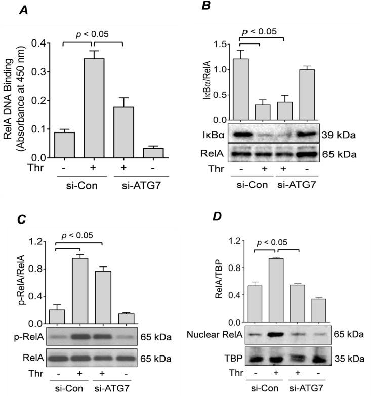 """ATG7 knockdown prevents RelA/p65 nuclear translocation and <t>DNA</t> binding, but not IκBα degradation or RelA/p65 phosphorylation. ( A ) HPAEC were transfected for 48 h with si-Con or si-ATG7 and then treated with thrombin (5 U/ml) for 1 h. Nuclear extracts were obtained and processed according to an <t>ELISA-based</t> DNA binding assay kit as described in the """" Materials and Methods """" section. Error bars represent mean ± S.E. (n = 4 for each condition). ( B C ) HPAEC were transfected with si-Con or si-ATG7 for 48 h and treated with thrombin (5 U/ml) for 1 h. Total cell lysates were analyzed by Western blot for ( B ) IκBα levels and ( C ) RelA/p65 phosphorylation. RelA/p65 was used as a loading control. Error bars represent mean ± S.E. (n = 3–4 for each condition). ( D ) HPAEC were transfected for 48 h with si-Con or si-ATG7 and treated with thrombin (5 U/ml) for 1 h. Nuclear extracts were obtained and analyzed by Western blot to measure the level of RelA/p65, and TATA-binding protein (TBP) was used as a loading control for nuclear protein. Error bars represent mean ± S.E. (n = 3–4 for each condition)."""