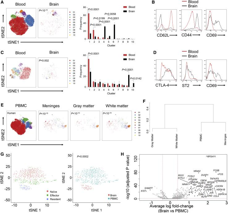 A Conserved Residency Program for CD4 T Cells and Tregs in the Healthy Mouse and Human Brain (A) Healthy perfused mouse brains were compared to blood by high-dimensional flow cytometry. n = 5. t-Distributed Stochastic Neighbor Embedding (t-SNE) of conventional T cells built on key markers (CD62L, CD44, CD103, CD69, CD25, PD-1, Nrp1, ICOS, KLRG1, ST2, Ki67, Helios, T-bet, and CTLA4). Colors indicate FlowSOM clusters, quantified in side panel. (B) Representative histograms for conventional T cells from wild-type mouse blood and brain. (C) t-SNE of Tregs built on key markers. Colors indicate FlowSOM clusters, quantified in side panel. (D) Representative histograms for Tregs from mouse blood and brain. (E) Unaffected human brain tissues were compared to peripheral blood mononuclear cells (PBMCs) by high-dimensional flow cytometry, n = 4. t-SNE of conventional T cells built on key markers (ICOS, CD28, CD69, Ki-67, CD95, CD31, HLA-DR, CCR2, CXCR5, CD25, PD-1, CXCR3, RORγT, CCR4, CTLA-4, CCR7, and CD45RA). Colors indicate FlowSOM clusters. (F) Dendrogram showing the relationship across the brain regions based on cross-entropy differences in t-SNE. (G) 10× single-cell sequencing was performed on sorted CD4 T cells from the human brain and PBMCs. Quality control filtering and gating based on expression markers identified 86 CD4 + T cells from the brain and 567 CD4 + T cells from the blood. t-SNE visualizing cell clusters built on the combined population of 653 CD4 + cells. Clusters are identified with different colors and labeled based on signature expression of transcriptional markers (left) or tissue origin (right). (H) Volcano plot of differential expression between brain and PBMC CD4 T cells. Indicated cut-offs are used for pathway analysis. See also Figure S2 .