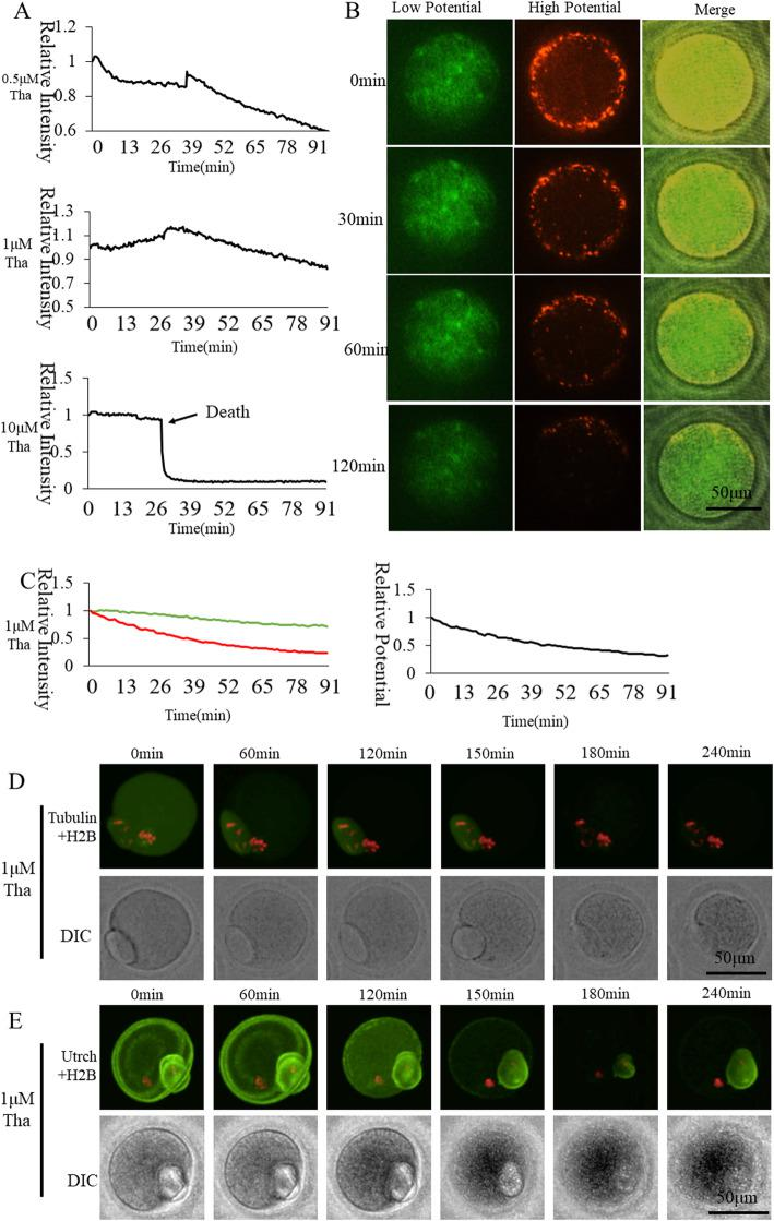 Effect of SERCAs inhibitor Thapsigargin on oocyte activation. a Cytoplasmic ([Ca 2+ ] i ) dynamic changes of Thapsigargin-inhibited oocyte during activation. b Mitochondrial membrane potential of 1 μM Thapsigargin-inhibited oocytes during activation. c Mitochondrial membrane potential fluorescence intensity of 1 μM Thapsigargin-inhibited oocytes. The green and red curves represent labeling with JC-1, indicating relative fluorescence intensities of low membrane potential and high membrane potential, respectively. The black curve shows the ratio of high membrane potential to low membrane potential indicating relative mitochondrial membrane potential. d Living cell observation of 1 μM Thapsigargin inhibition of oocyte spindle formation e Living cell observation of 1 μM Thapsigargin inhibition of oocyte subcortical F-actin distribution