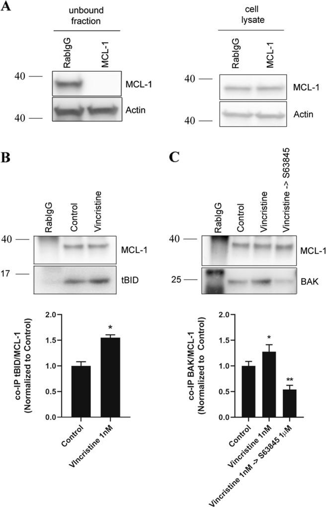 Vincristine induces resistance in RMS cells through BID and BAK inhibition by MCL-1. a Left panel: Western blot results of the unbound fraction after MCL-1 immunoprecipitation. Right panel: MCL-1 levels in the initial cell lysates. High efficiency of MCL-1 immunoprecipitation compared to Rabbit IgG control antibody. b Western blot results of the co-immunoprecipitation between MCL-1 and tBID in control conditions and after 1 nM vincristine treatment for 36 h. Results showed a significant increase in tBID and MCL-1 binding after vincristine treatment. c Western blot results of the co-immunoprecipitation between MCL-1 and BAK in control conditions, after 1 nM vincristine treatment and after the sequential combination of 1 nM vincristine and 1 µM S63845 for 36 h. Results showed a significant increase in BAK and MCL-1 binding after vincristine treatment, which was decreased below control levels after the addition of S63845. Values indicate mean values ± SEM from at least three independent experiments. ** p
