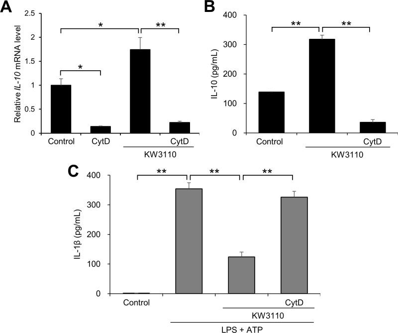 Effects of phagocytosis blocker on KW3110-induced IL-10 production and IL-1β suppression in J774A.1 cells. (A) Total RNA from J774A.1 cells treated with cytochalasin D (1 μg/mL) for 30 min and KW3110 (5 μg/mL) for 6 h was extracted and reverse-transcribed. Quantitative RT-PCR was performed to amplify mouse GAPDH and IL-10 . IL-10 values were normalized to the expression of GAPDH . (B, C) The cells were treated with cytochalasin D (1 μg/mL) for 30 min and KW3110 (5 μg/mL) for 24 h. IL-10 levels in the supernatant were measured by ELISA for (B). The cells were then treated with LPS (10 μg/mL) for 4 h and ATP (2 mM) for 1 h. IL-1β levels in the supernatant were measured by ELISA for (C). CytD; cytochalasin D. Values indicate means ± SEM (triplicate data). Statistical differences were analyzed by ANOVA followed by Tukey's test (**, P