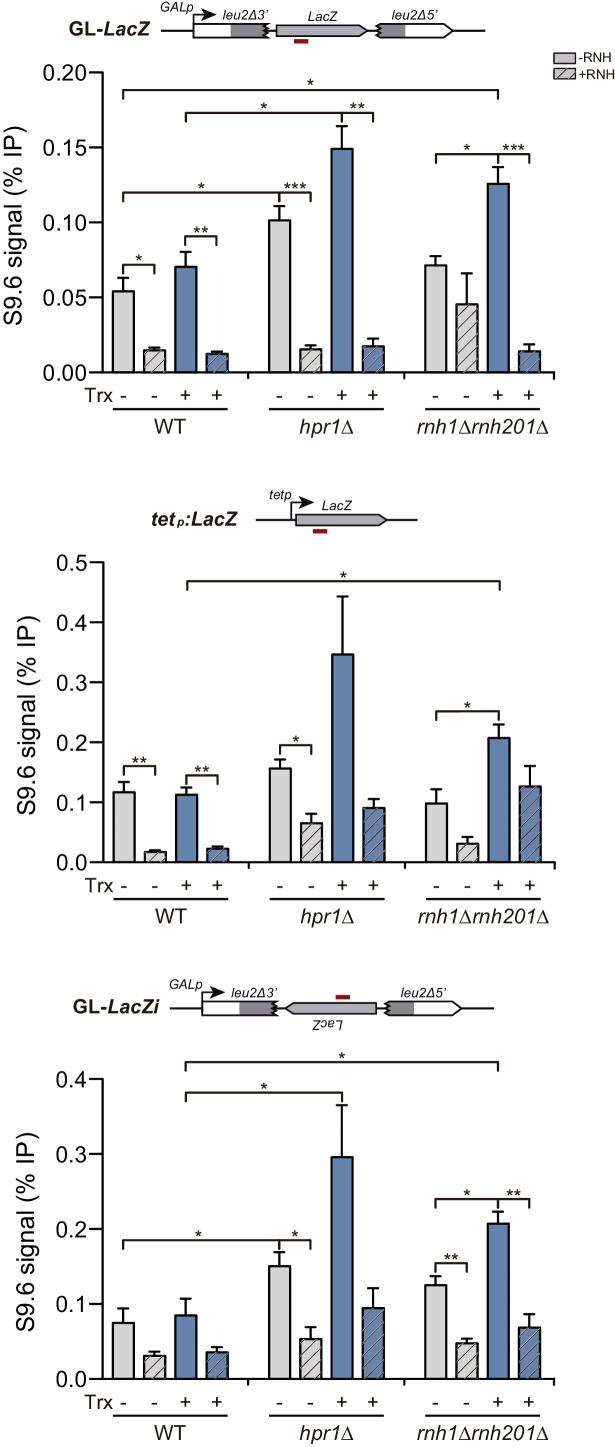 Detection of co-transcriptional DNA:RNA hybrids in hpr1Δ and rnh1Δ rnh201Δ mutants at the LacZ -containing constructs under the GAL1 or tet promoters. DNA:RNA Immuno-Precipitation (DRIP) with the S9.6 antibody in WT (W303), hpr1Δ (U678.4C) and rnh1Δ rnh201Δ (HRN2.10C) strains in asynchronous cultures treated or not in vitro with RNase H in the GL- LacZ , tetp:LacZ and GL- LacZi constructs turned transcriptionally off (2% glucose or 5 μg/mL doxycycline) or on (2% galactose and in the absence of doxycycline). Average and SEM of three independent experiments are shown *, p≤0.05; **, p≤0.01; ***, p≤0.001 (unpaired Student's t-test). Detection of co-transcriptional DNA:RNA hybrids.