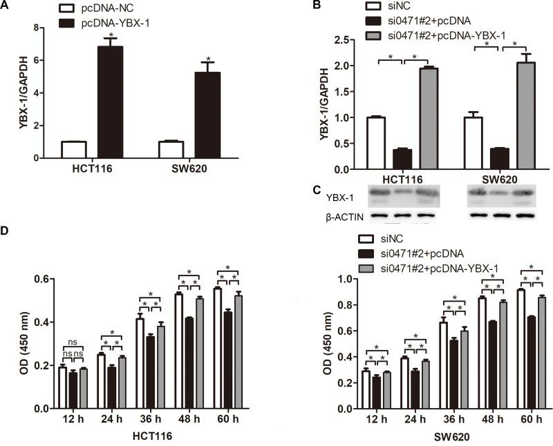 YBX1 overexpression partly reverses the effects of ENST00000430471 knockdown in colorectal cancer cells. ( A ) The mRNA expression level of YBX-1 was determined using reverse transcription-quantitative PCR following transfection of pcDNA-YBX-1 and pcDNA into HCT116 and SW620. ( B ) YBX-1 mRNA expression level, ( C ) YBX-1 protein expression level, and ( D ) Proliferation ability were determined in HCT116 and SW480 cells co-transfected with si0471#2, along with pcDNA-YBX-1 or pcDNA, using transcription-quantitative PCR, Western blot, Cell Counting Kit-8, respectively. Data are presented as mean ± SD. *P