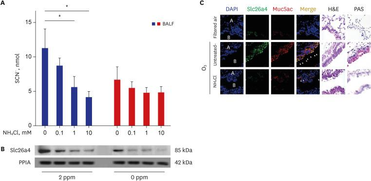 Localization of Slc26a4 and temporal changes in Slc26a4 and SCN − levels in O 3 -exposed mice, and the inhibitory effects of NH 4 Cl. ( A ) Representative SCN − in mice BALF of sham, O 3 -exposed, and NH 4 Cl-treated O 3 -exposed mice on Day 21. ( B ) Representative western blot of Slc26a4 in lung lysates pooled from sham (n = 6), O 3 -exposed (n = 6), and NH 4 Cl-treated O 3 -exposed (n = 6) mice on Day 21. Data represent the mean ± SEM of six experiments and P values were determined using t -tests. ( C ) Representative image of H E and immunofluorescence staining for Slc26a4 (green, FITC) and Muc5ac (red, PE) in lung tissues of sham, O 3 -exposed, and NH 4 Cl-treated O 3 -exposed mice on Day 21. Nuclei were stained with DAPI (blue) (1,000×). Slc26a4 = solute carrier family 26 member 4, SCN − = thiocyanate, O 3 = ozone, NH 4 Cl = ammonium chloride, SEM = standard error of the mean, H E = hematoxylin eosin, Muc5ac = mucin 5AC, DAPI = <t>4′,6-diamidino-2-phenylindole,</t> A = alveoli, B = bronchiole. * P