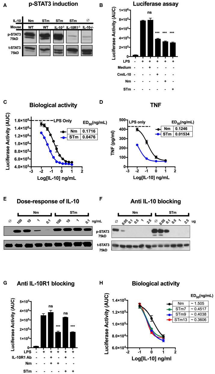 Stable mouse IL-10 (STm) is biologically active in vitro . (A) Specific induction of STAT3 phosphorylation by STm (5 ng/mL) was verified by the use of spleen cells from different mouse lines: Wild type C57BL/6 (WT), IL-10 knockout (IL-10 −/− ) and IL-10 receptor knockout (IL-10R1 −/− ). (B) Luciferase activity was monitored as the area under the curve (AUC) from BMDMs reporter mouse; cells were either unstimulated or stimulated with LPS (10 ng/mL) in the presence or absence of IL-10 from HEK 293 EBNA supernatants. A commercial mouse IL-10 (CmIL-10) was used as a positive control, and un-transfected cells supernatants (Medium) served as a negative control. Significant difference considered by comparing to LPS stimulated cells as follows: not significant (ns), *** p