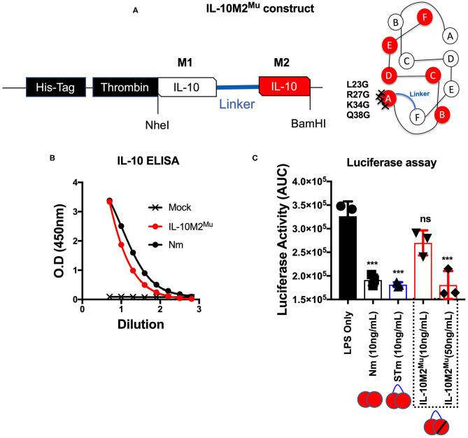 Mutations introduced into one monomer of stable mouse IL-10 at the IL-10R binding site (IL-10M2 Mu ). (A) The cDNA construct of both un-mutant IL-10 and IL-10M2 Mu was cloned into the expression vector (pCEP V19) and the cartoon illustration of IL-10M2 Mu with the location of the 4-points mutations at the IL-10 receptor-binding site on the helix A of IL-10 protein. (B) Purified IL-10M2 Mu detected by ELISA (1/2 dilutions) to evaluate the expression level. (C) Assessment of luciferase suppression after LPS (10 ng/mL) treatment and either co-treated with Nm (10 ng/mL), STm (10 ng/mL), or IL-10M2 Mu at (10 and 50 ng/mL). The significant difference is calculated concerning LPS stimulated cells only and symbolized as *** p