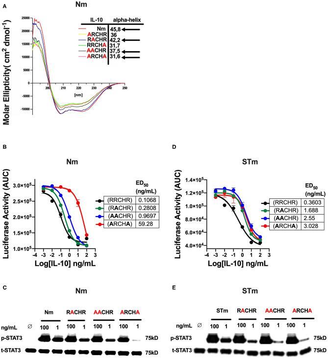 The effect of amino acid substitution at the RRCHR region of mouse <t>IL-10</t> on biological activities. (A) The secondary structure of IL-10 mutants by CD spectroscopy adopted from unpublished data ( 36 ). (B) The ED50 of natural IL-10 was calculated as flow: Nm RRCHR (un-mutant) (black line) (0.1 ng/mL), Nm RACHR (green line) (0.28 ng/mL), Nm AACHR (blue line) (0.96 ng/mL), and Nm ARCHA (red line) (59.28 ng/mL). (C) The activation of cellular signaling (p-STAT3) determines by western blot after lysate from spleen cells of the C57BL/6 mouse treated Nm mutants and un-mutant (control) in dose-response and using the total STAT3 as an internal control. (D) The ED50 of stable IL-10 was calculated as flow: STm RRCHR (un-mutant) (black line) (0.36 ng/mL), STm RACHR (green line) (1.6 ng/mL), STm AACHR (blue line) (2.55 ng/mL), and ST ARCHA (red line) (3.02 ng/mL). (E) The activation p-STAT3 determines by western blot from spleen cells lysate of the C57BL/6 mouse treated STm mutants and un-mutant (control) in dose-response and using the total STAT3 as an internal control. The data represented as AUC (Area Under the Curve). All data are representative of two independent experiments, with triplicate cultures per experiment ( N = 2, n = 3), and bars represent standard error of the mean.