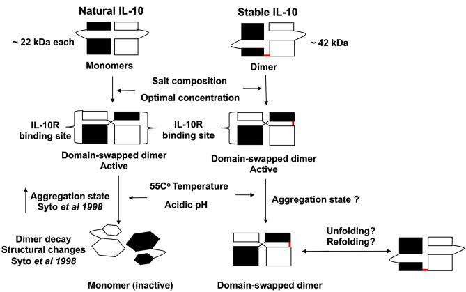Scheme representing the proposed biological activity and stability of stable IL-10 dimer. Both natural and stable IL-10 are biologically active in vitro and in vivo . We predict that our stable IL-10 is folded like the natural IL-10 in a domain-swapping fashion. Our mutant IL-10 model demonstrates the importance of dimerization to elicit the maximum inhibitory response. We showed that stable IL-10 is more active after treatment with different physiological stress conditions such as high-temperature and pH compared to natural IL-10.