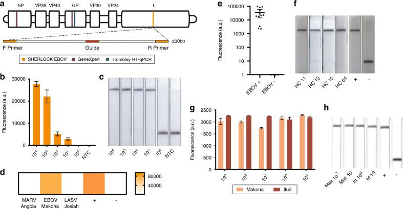 Detection of EBOV. a Schematic of the SHERLOCK EBOV assay. b , c Detection of a serial dilution of EBOV synthetic DNA using ( b ) mean fluorescence of three technical replicates and ( c ) lateral flow readouts. Error bars indicate ±1 SD for three technical replicates. d Test of cross-reactivity using MARV, EBOV, and LASV viral seedstock cDNA. Heat map is measured in Fluorescence (a.u.). e SHERLOCK testing of cDNA extracted from 12 confirmed EBOV-positive and 4 confirmed EBOV-negative samples collected from suspected EVD patients during the 2014 outbreak in Sierra Leone. Error bars indicate 95% confidence interval. f Four of the samples from e were also tested by collaborators using lateral flow detection. g , h Detection of serial dilution of synthetic RNA from Ituri, DRC and Makona, Sierra Leone using ( g ) fluorescence where error bars indicate ±1 SD for three technical replicates and ( h ) lateral flow readouts carried out at USAMRIID. Source data are in the Source Data file.