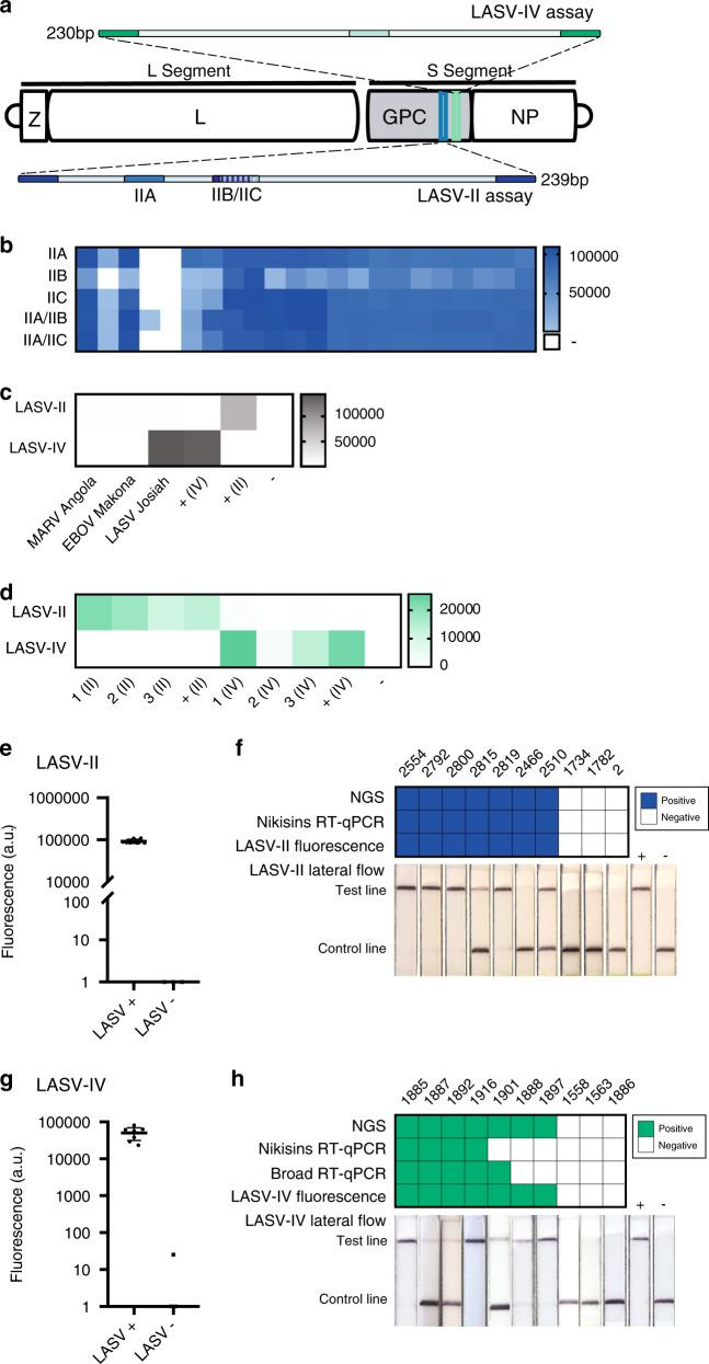 Detection of LASV clade II and IV. a Schematic of LASV SHERLOCK assays targeting the two most common clades of LASV: clades II (LASV-II assay) and IV (LASV-IV assay). For the LASV-II assay, three crRNAs were designed and tested. Two crRNAs are multiplexed to encompass the clade's genetic diversity (IIA/IIB or IIA/IIC). Each crRNA was tested using three technical replicates. b – d Heat maps are measured in fluorescence (a.u.). b Detection of LASV RNA from suspected LF clinical samples using crRNAs IIA, IIB, IIC, or a combination of crRNAs. c Test of cross-reactivity between different viral species using MARV, EBOV, and LASV viral seedstock cDNA. The LASV-II and LASV-IV assays do not cross-react with MARV or EBOV seed stocks. d Test of cross-reactivity between LASV clade-specific assays using clinical samples from recent outbreaks in Nigeria and Sierra Leone. The LASV-II and LASV-IV assays provide clade-specific detection. e SHERLOCK testing using the LASV-II assay of RNA extracted from seven confirmed LASV-positive and three confirmed LASV-negative samples collected from suspected LF patients in Nigeria during the 2018 outbreak. Error bar indicates 95% confidence interval. f Results from e were compared head-to-head to those from the gold standard Nikisins RT-qPCR assay, next-generation sequencing (genome assembled), and lateral flow detection. g SHERLOCK testing using the LASV-IV assay of RNA extracted from seven confirmed LASV-positive and three confirmed LASV-negative samples collected from suspected LF patients in Sierra Leone. Error bar indicates 95% confidence interval. h Results from g were compared head-to-head to those from the gold standard Nikisins RT-qPCR assay, a second Broad RT-qPCR, NGS, and lateral flow detection. Source dare are in the Source Data file.