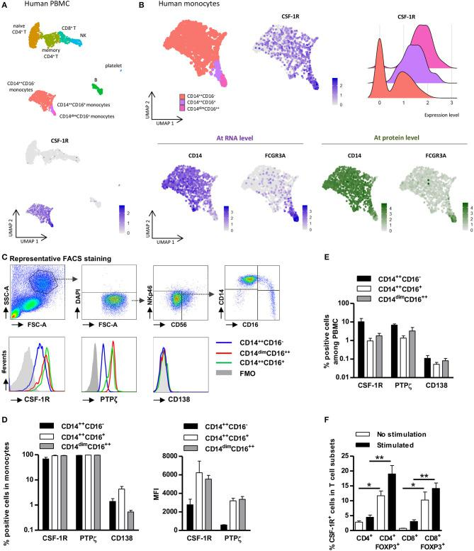 CSF-1R and PTPζ expression is restricted to monocytes and FOXP3 + Tregs. PBMCs were analyzed for CSF-1R expression at single cell transcriptional (A,B) and proteomic levels (C–F) . (A) Top: UMAP visualization of a public dataset of resting Human PBMC single cell RNA-seq from one healthy volunteer for which subsets of monocytes, T cells, B cells, and NK cells were identified by antibody staining. Bottom: CSF-1R expression in total PBMCs. One point represents one cell. Relative expression level is scaled from gray to dark blue. (B) Monocyte subsets were further subdivided based on RNA (RNAseq, bottom left) and protein expressions (CITEseq, bottom right) of CD14 (left) and FCGR3A (CD16) (right) summarized in the UMAP visualization (upper left), and subsets were analyzed for CSF-1R RNA expression (upper middle and right). One point represents one cell. Relative expression level is scaled from gray to dark blue (RNA expression) or from gray to dark green (protein expression). Upper Right: Violin plot representing the expression level of mRNA for CSF-1R in CD14 ++ CD16 − monocytes (red), in CD16 ++ CD14 dim monocytes (pink), and in CD14 ++ CD16 + monocytes (purple). (C) Representative gating strategy for FACS analysis of CSF-1R, PTPζ, and CD138 expression in living (DAPI − ) non-NK cells (CD56 − NKp46 − ) CD14 ++/dim CD16 ++/+/− cell subsets from PBMCs. Representative from three individuals. (D) Frequency (left) of CSF-1R, PTPζ, and CD138 expressing cells and expression level (MFI) of CSF-1R and PTPζ (right) in CD14 ++/dim CD16 ++/+/− cell subsets. n = 3 individuals. (E) Frequency of CSF-1R + , PTPζ + , and CD138 + monocytes in total PBMCs. n = 3 individuals. (F) Frequency of CSF-1R expressing cells in stimulated (black) or not (white) FOXP3 +/− CD4 + or CD8 + T cells. n = 5 individuals. Mann Whitney tests, * p