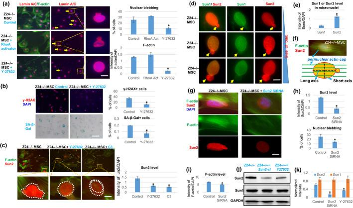 """Effect of inhibition of RhoA/ROCK signaling or Sun2 expression in Z24 −/− MSCs. (a) Immunostaining analysis of lamin A/C and F‐actin in Z24 −/− MSCs treated with Rho activator II or RhoA/ROCK inhibitor Y‐27632. Quantification of nuclear blebbing and F‐actin is shown. Scale bar = 5 µm. (b) Immunostaining analysis and quantification of γ‐H2AX and SA‐β‐Gal staining in Z24 −/− MSCs treated with Y‐27632. Quantification of γ‐H2AX + or SA‐β‐Gal + cells is shown. Scale bar = 100 µm. (c) Immunostaining analysis of Sun2 and F‐actin in Z24 −/− MSCs treated with Y‐27632 or C3 transferase (C3). Quantification of Sun2 with or without RhoA inhibition is shown. Scale bar = 3 µm. (d) Immunostaining analysis of Sun1 and Sun2 in nuclear and micronuclei of Z24 −/− MSCs. Scale bar = 3 µm. (e) Quantitation of Sun1 and Sun2 protein level in micronuclei of Z24 −/− MSCs is shown. (f) Demonstration of perinuclear actin cap stress fiber. (g) Immunostaining analysis of Sun2 and F‐actin in Z24 −/− MSCs with or without Sun2 SiRNA treatment. Scale bar = 3 µm. (h) Quantitation of Sun2 and nuclear blebbing is shown. (i) Quantification of F‐actin level is shown. (j) Western blot analysis of Sun1 and Sun2 in Z24 −/− MSCs and Z24 −/− MSCs treated with Y‐27632 or Sun2 SiRNA. (k) Quantitation of Sun1 and Sun2 in western blot result is shown. N ≥ 6. """"*"""" at bar charts indicates p"""