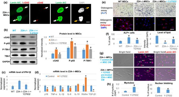 """RhoA inhibition in Z24 −/− MSCs represses micronuclei/cytoplasmic DNA‐induced innate immune response, reduces SASP expression, and rescues senescent phenotypes. (a) Immunostaining analysis of lamin A/C and cGAS showed that there is positive cGAS deposition at the micronuclei formed in Z24 −/− MSCs (arrows). Scale bar = 3 µm. (b) Western blot analysis and quantification of proteins related to the cGAS‐Sting signaling (cGAS, phosphor‐p65, phosphor‐TBK1) in WT MSCs, Z24 −/− MSCs, and Z24 −/− MSCs treated with Y‐27632. (c) qPCR analysis of interferon‐1β (IFN‐1β) expression. (d) qPCR analysis of the expression of SASP and senescent‐associated genes in Z24 −/− MSCs with or without Y‐27632 treatment. (e) Osteogenesis assay and adipogenesis assay of Z24 −/− MSCs with or without Y‐27632 treatment. Osteogenic potential was examined with ALP staining of osteogenic cells, and adipogenic potential was examined with AdipoRed staining of lipid in adipogenic cells. Scale bar = 30 µm. (f) Quantification of ALP or AdipoRed is shown. (g) Immunostaining analysis of lamin A/C in Z24 −/− MPCs treated with conditioned medium from Z24 −/− MSCs with or without Y‐27632 pretreatment. Arrows indicate cells with nuclear blebbing. Scale bar = 50 µm. (h) Quantification of myotube number and nuclear blebbing is shown. N ≥ 6. """"*"""" at bar charts indicates p"""