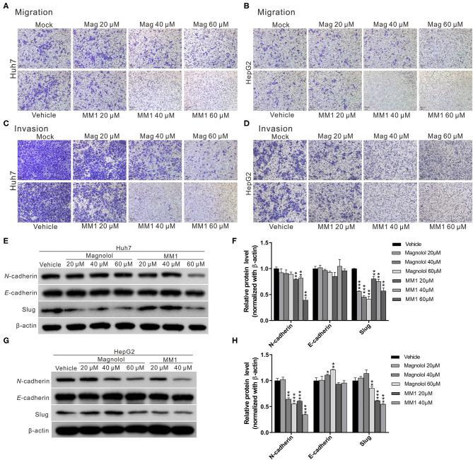 2-O-methylmagnolol (MM1) and magnolol inhibit hepatocellular carcinoma cell migration and invasion by suppressing epithelial-mesenchymal transition (EMT). (A,B) Comparisons of migration capacities of Huh7 and HepG2 cells treated with magnolol or MM1 in transwell assays. (C,D) Invasion assays using Matrigel-coated polyethylene terephthalate membrane inserts. (E,G) Western blotting showing the expression of EMT-related proteins in Huh7 and HepG2 cells after treatment with magnolol and MM1. Quantitative results are shown in (F,H) . The results are shown as the mean of three independent experiments. Significant differences compared with the vehicle control groups, * p
