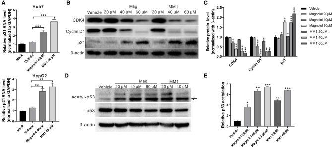 2-O-methylmagnolol (MM1) and magnolol induce the expression of the tumor-suppressor gene p21 and the acetylation of p53. (A) Huh7 and HepG2 cells were treated with the indicated concentrations of magnolol or MM1 for 48 h. The p21 RNA levels were examined by quantitative real-time reverse transcription-polymerase chain reaction. (B) Expression levels of p21 and downstream proteins in Huh7 cells were analyzed by Western blot using β-actin as an internal control. Quantitative results are shown in (C) . * p