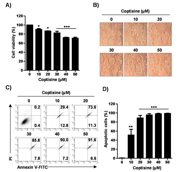 Effects of coptisine on cell viability and apoptosis in Hep3B cells. Hep3B cells were treated with the indicated concentrations of coptisine for 24 h. ( A ) After treated with coptisine, added the a 3-(4,5-dimethylthiazol-2-yl)-2-,5-diphenyltetrazolium bromide (MTT) solution, reacted for 2 h and then detected cell viability; ( B ) The morphology of Hep3B cells by coptisine were observed by phase-contrast microscopy (magnification, ×50); ( C ) The cells were harvested and stained with annexin V-fluorescein isothiocyanate <t>(FITC)</t> and propidium iodide (PI). After staining, cells were analyzed the apoptosis by flow cytometry. Annectin V-FITC results represent early apoptosis (lower right quadrant), and late apoptosis (upper right quadrant); ( D ) Statistical analysis of <t>annexin</t> V positive cells (** p