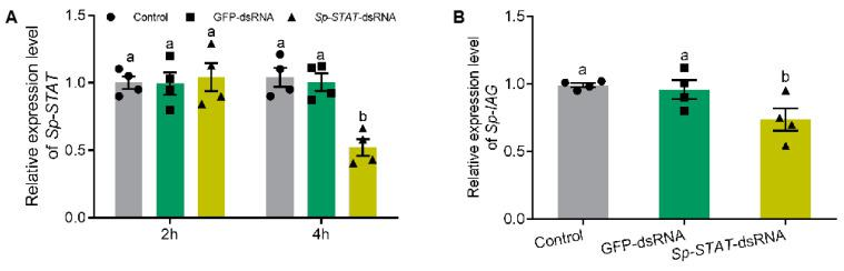 Effect of Sp-STAT dsRNA on Sp-IAG expression in vitro. Expression of Sp-STAT analyzed at hour 2 and 4 ( A ). The expression of Sp-IAG was analyzed after incubated for 4 h, water and GFP (green fluorescent protein gene) were used as blank and negative controls, respectively ( B ). Data presented as mean ± SEM ( n = 4). Different letters indicate statistical significance at p