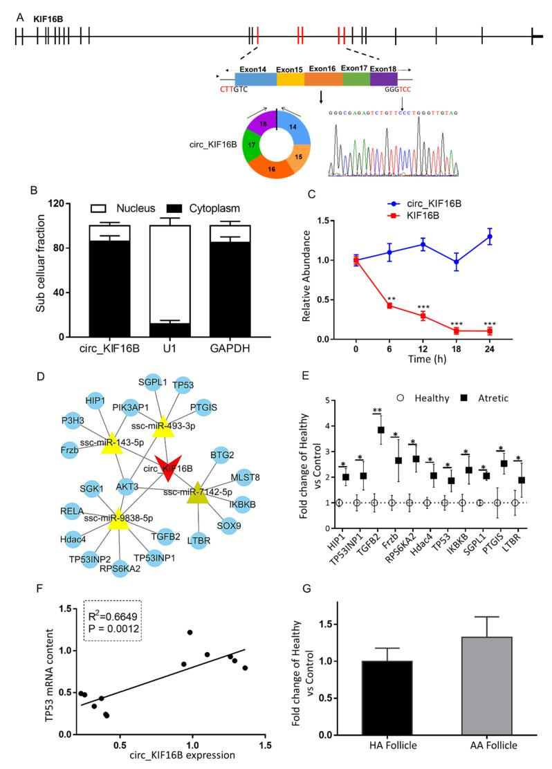Characterization and putative role of circ_KIF16B. ( A ) The genomic loci of circ_KIF16B in the KIF16B gene. The expression of circ_KIF16B was validated by qRT-PCR, followed by Sanger sequencing. Arrows represent divergent primers binding to the genome region of circ_KIF16B. ( B ) Cellular characterization of circ_KIF16B. Levels of nuclear control transcript (U1), cytoplasmic control transcript (GAPDH and mRNA), and circ_KIF16B were assessed by qRT-PCR in nuclear ( n = 3) and cytoplasmic fractions ( n = 3) of porcine granulosa cells. Data are presented as a percentage of U1, GAPDH, and circ_KIF16B levels. ( C ) qRT-PCR for the abundance of circ_KIF16B (blue line, n = 3) and KIF16B mRNA (red line, n = 3) in granulosa cells treated with actinomycin D at the indicated time points. ( D ) A putative ceRNA network of circ_KIF16B constructed by Cytoscape 3.8. The red V shape represents circ_KIF16B, the yellow triangle represents targeted miRNAs, and blue round circles denote targeted mRNAs. ( E ) qRT-PCR for the abundance of mRNA content of 10 targeted pro-apoptotic genes in granulosa cells of HA (open circles, n = 6) and AA (filled squares, n = 6) follicles. ( F ) Correlation of expression levels of circ_KIF16B and TP53 . ( G ) circ_KIF16B expression in cumulus cells of HA (black bar, n = 6) and AA follicles (grey bar, n = 6), as measured by qRT-PCR. Gene expression, as fold change of AA over HA follicles, with no change, was indicated as 1. KIF16B , kinesin family member 16B; *, p