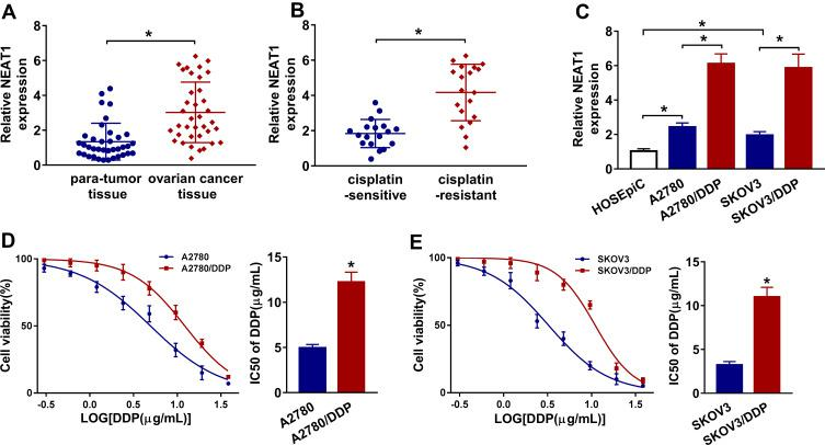 NEAT1 expression is enhanced in cisplatin-resistant ovarian cancer tissues and cells. ( A ) The expression of NEAT1 was measured in ovarian cancer tissues and para-tumor tissues (n=37) by qRT-PCR. ( B ) The level of NEAT1 was detected in cisplatin-sensitive (n=18) and cisplatin-resistant tissues (n=19) by qRT-PCR. ( C ) The expression of NEAT1 was examined in cisplatin-sensitive ovarian cancer cells (A2780 and SKOV3) and cisplatin-resistant cells (A2780/DDP and SKOV3/DDP) by qRT-PCR. ( D and E ) The cell viability and IC50 of cisplatin (DDP) were analyzed in A2780, A2780/DDP, SKOV3 and SKOV3/DDP cells after treatment of different concentrations of cisplatin for 48 h by MTT. The difference was compared with the indicated control group and analyzed via Student's t -test or ANOVA followed via Tukey post hoc test. * P