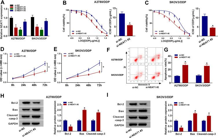 Knockdown of NEAT1 inhibits cisplatin resistance in cisplatin-resistant ovarian cancer cells. ( A ) The abundance of NEAT1 was measured in A2780/DDP and SKOV3/DDP cells transfected with si-NC, si-NEAT1 #1, #2 or #3 by qRT-PCR. ( B and C ) Cell viability and IC50 of cisplatin (DDP) were detected in A2780/DDP and SKOV3/DDP cells transfected with si-NC or si-NEAT1 #2 after stimulation of different concentrations of cisplatin for 48 h by MTT. ( D and E ) Cell viability was determined in A2780/DDP and SKOV3/DDP cells transfected with si-NC or si-NEAT1 #2 at 0, 24, 48 and 72 h by MTT. ( F and G ) The apoptotic rate of A2780/DDP and SKOV3/DDP cells transfected with si-NC or si-NEAT1 #2 was measured at 72 h by flow cytometry. Markers: Annexin V-FITC and PI. ( H and I ) The protein levels of Bcl-2, Bax and Cleaved-casp-3 were detected in A2780/DDP and SKOV3/DDP cells transfected with si-NC or si-NEAT1 #2 at 72 h by Western blot. The difference was compared with si-NC group and analyzed via Student's t -test or ANOVA followed via Tukey post hoc test. * P