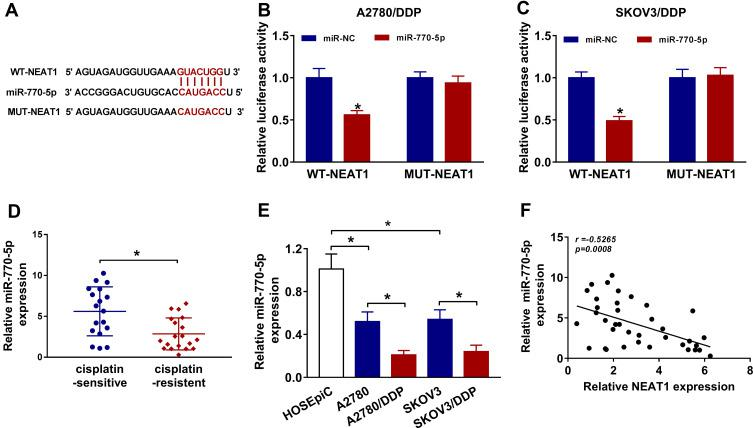 NEAT1 is a decoy of miR-770-5p in cisplatin-resistant ovarian cancer cells. ( A ) The binding sites of NEAT1 and miR-770-5p were predicted by starBase. ( B and C ) Luciferase activity was measured in A2780/DDP and SKOV3/DDP cells co-transfected with WT-NEAT1 or MUT-NEAT1 and miR-NC or miR-770-5p. ( D ) The expression of miR-770-5p was measured in cisplatin-sensitive (n=18) and cisplatin-resistant ovarian cancer tissues (n=19) by qRT-PCR. ( E ) The expression of miR-770-5p was detected in A2780, SKOV3, A2780/DDP and SKOV3/DDP cells by qRT-PCR. ( F ) The linear association between the expression levels of miR-770-5p and NEAT1 in ovarian cancer tissues was assessed. The difference was compared with the indicated control group and analyzed via Student's t -test or ANOVA followed via Tukey post hoc test. * P