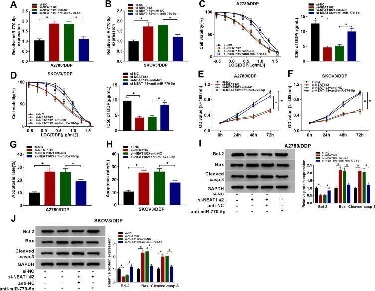Knockdown of miR-770-5p reverses the suppressive effect of NEAT1 silencing on cisplatin resistance in cisplatin-resistant ovarian cancer cells. ( A and B ) The expression of miR-770-5p was measured in A2780/DDP and SKOV3/DDP cells transfected with si-NC, si-NEAT1 #2, si-NEAT1 #2 and anti-NC or anti-miR-770-5p by qRT-PCR. ( C and D ) Cell viability and IC50 of cisplatin (DDP) were detected in A2780/DDP and SKOV3/DDP cells transfected with si-NC, si-NEAT1 #2, si-NEAT1 #2 and anti-NC or anti-miR-770-5p after treatment of cisplatin for 48 h by MTT. ( E and F ) Cell viability was measured in A2780/DDP and SKOV3/DDP cells transfected with si-NC, si-NEAT1 #2, si-NEAT1 #2 and anti-NC or anti-miR-770-5p at 0, 24, 48 and 72 h by MTT. ( G and H ) Cell apoptosis was detected in A2780/DDP and SKOV3/DDP cells transfected with si-NC, si-NEAT1 #2, si-NEAT1 #2 and anti-NC or anti-miR-770-5p at 72 h by flow cytometry. ( I and J ) The protein levels of Bcl-2, Bax and Cleaved-casp-3 were examined in A2780/DDP and SKOV3/DDP cells transfected with si-NC, si-NEAT1 #2, si-NEAT1 #2 and anti-NC or anti-miR-770-5p at 72 h by Western blot. The difference was compared with the indicated control group and analyzed via ANOVA followed via Tukey post hoc test. * P