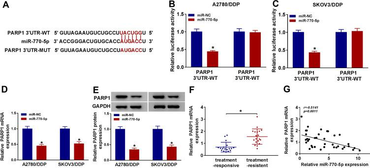 PARP1 is a target of miR-770-5p in <t>cisplatin-resistant</t> ovarian cancer cells. ( A ) StarBase online predicted the binding sites of miR-770-5p and PARP1. ( B and C ) Luciferase activity was analyzed in A2780/DDP and SKOV3/DDP cells co-transfected with PARP1 3ʹUTR-WT or PARP1 3ʹUTR-MUT and miR-NC or miR-770-5p. ( D and E ) The mRNA and protein levels of PARP1 were measured in A2780/DDP and SKOV3/DDP cells transfected with miR-NC or miR-770-5p by qRT-PCR and Western blot. ( F ) The expression of PARP1 mRNA was detected in cisplatin-sensitive (n=18) and cisplatin-resistant ovarian cancer tissues (n=19) by qRT-PCR. ( G ) The linear correlation between the expression of PARP1 mRNA and miR-770-5p in ovarian cancer tissues was analyzed. The difference was compared with the indicated control group and analyzed via Student's t -test or ANOVA followed via Tukey post hoc test. * P