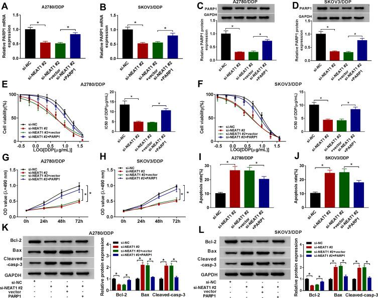 Restoration of PARP1 attenuates the inhibitive effect of NEAT1 knockdown on cisplatin resistance in cisplatin-resistant ovarian cancer cells. ( A-D ) The expression levels of PARP1 mRNA and protein were detected in A2780/DDP and SKOV3/DDP cells transfected with si-NC, si-NEAT1 #2, si-NEAT1 #2 and vector or PARP1 by qRT-PCR and Western blot. ( E and F ) Cell viability and IC50 of cisplatin (DDP) were measured in A2780/DDP and SKOV3/DDP cells transfected with si-NC, si-NEAT1 #2, si-NEAT1 #2 and vector or PARP1 after treatment of cisplatin for 48 h by MTT. ( G and H ) Cell viability, ( I and J ) apoptosis and ( K and L ) protein levels of Bcl-2, Bax and Cleaved-casp-3 were examined in A2780/DDP and SKOV3/DDP cells transfected with si-NC, si-NEAT1 #2, si-NEAT1 #2 and vector or PARP1 by MTT, flow cytometry and Western blot, respectively. The difference was compared with the indicated control group and analyzed via ANOVA followed via Tukey post hoc test. * P