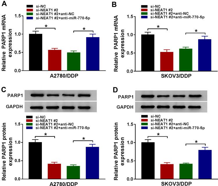 Silencing of NEAT1 decreases PARP1 expression by regulating miR-770-5p in cisplatin-resistant ovarian cancer cells. ( A and B ) The mRNA level of PARP1 was measured in A2780/DDP and SKOV3/DDP cells transfected with si-NC, si-NEAT1 #2, si-NEAT1 #2 and anti-NC or anti-miR-770-5p by qRT-PCR. ( C and D ) The expression of PARP1 protein was detected in A2780/DDP and SKOV3/DDP cells transfected with si-NC, si-NEAT1 #2, si-NEAT1 #2 and anti-NC or anti-miR-770-5p by Western blot. The difference was compared with the indicated control group and analyzed via ANOVA followed via Tukey post hoc test. * P