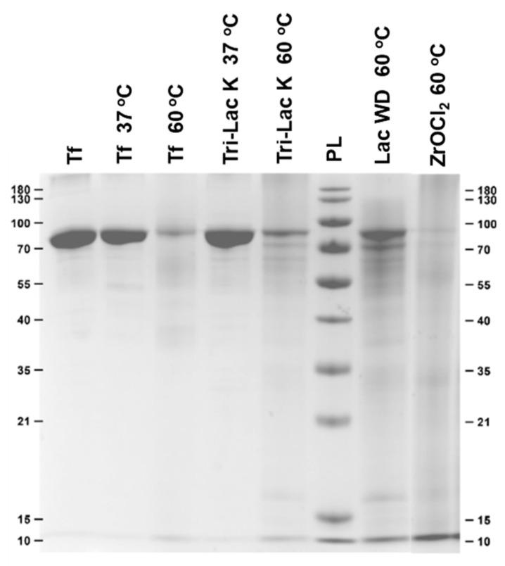 SDS-Page gel featuring intact transferrin (lane 1), transferrin incubated in phosphate buffer (lanes 2–3), and transferrin incubated in buffer solutions containing control samples. The samples were incubated for 7 days.