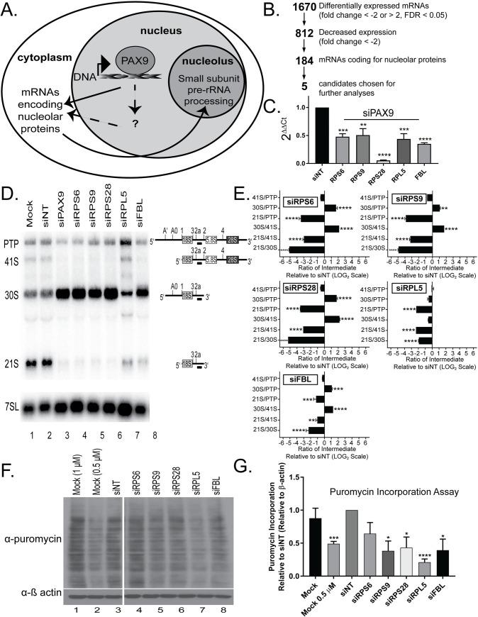 RNA-seq transcriptomics analysis in human tissue culture cells reveals changes in the expression levels of over 100 nucleolar mRNAs after PAX9 knockdown. (A) Schematic of how PAX9 would act as a RNAPII transcription factor to drive the levels of mRNAs required for making the small subunit (SSU) of the ribosome. In the cell nucleus, PAX9 binds to DNA to affect the transcription of mRNAs that either encode nucleolar proteins (direct; solid arrow) or to transcribe mRNAs that affect the levels of mRNAs encoding nucleolar proteins (indirect; dotted arrows). The resulting mRNAs are translated in the cytoplasm into proteins that function in SSU pre-rRNA processing in the nucleolus. (B) RNA-seq analysis after PAX9 siRNA depletion in MCF10A cells reveals decreased levels of mRNAs encoding 184 nucleolar proteins. Relative to a non-targeting siRNA control (siNT), PAX9 depletion resulted in differential expression of 1670 mRNAs (fold change ≤ -2 or > 2 and FDR ≤ 0.05). Of these, 812 mRNAs had a decreased fold change (≤ -2) and 184 of those mRNAs code for proteins designated as nucleolar in at least one of three databases [ 50 – 52 ]. Of the 184 mRNAs whose levels were decreased and that also code for nucleolar proteins, 5 were chosen as candidates for follow-up studies. (C) qRT-PCR confirms reduced mRNA levels of the 5 RNA-seq candidates after PAX9 siRNA knockdown in MCF10A cells. After depletion using siRNAs targeting either PAX9 or a non-targeting control siRNA (siNT), the levels of the indicated 5 mRNAs were quantified by qRT-PCR using primers to each target gene relative to a 7SL control and siNT. Data are shown as mean ± SEM. Three replicates using cells of different passage numbers, with 3 technical replicates each, were performed. Significance was calculated by One-way ANOVA using GraphPad Prism where **** p ≤ 0.0001. (D) Depletion of 4 of the 5 candidate mRNAs (RPS6/eS6, RPS9/uS4, RPS28/eS28, and FBL) individually results in the same pre-rRNA processing defect as PAX9 s