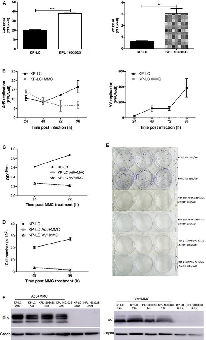 AdV and VV can infect and replicate in transformed iPSCs and mitomycin-C treatment inhibits ongoing replication and tumor cell proliferation. (A) Cytotoxicity of Ad5 or VV on iPSC-derived KP-LC cells and KPL 160302S lung tumor cells. Cell death was determined by MTS assay 144 h post-infection. Mean EC50 values ± SEM are shown. (B) Production of infectious Ad5 or VV virions in KP-LC cells. Cells were infected with virus and were untreated or treated with mitomycin C. Mean viral replication ± SEM was determined at 24 h intervals for 96 h by TCID50 assay. JH293 cells for Ad5 or CV1 cells for VVL15-RFP. (C) Cell proliferation of KP-LC cells after infection and mitomycin-C treatment was determined using MTS assay at 24 and 72 h post-mitomycin C treatment. Mean OD 490 nm values ± SEM are shown. n = 3/group. (D) Cell proliferation of KP-LC cells after infection and mitomycin-C treatment was determined by cell counting at 48 and 96 h post-mitomycin C treatment. n = 3/group. (E) Plate colony formation of KP-LC cells after infection and mitomycin-C treatment. (F) Viral protein expression was determined in KP-LC or KPL 160302S cells at 24 and 72 h post-infection +/– mitomycin C treatment of cells. Anti-E1A was used to confirm AdV protein expression. Anti-VV coat protein was used to confirm VV protein expression. GAPDH was used as a loading control. ** p