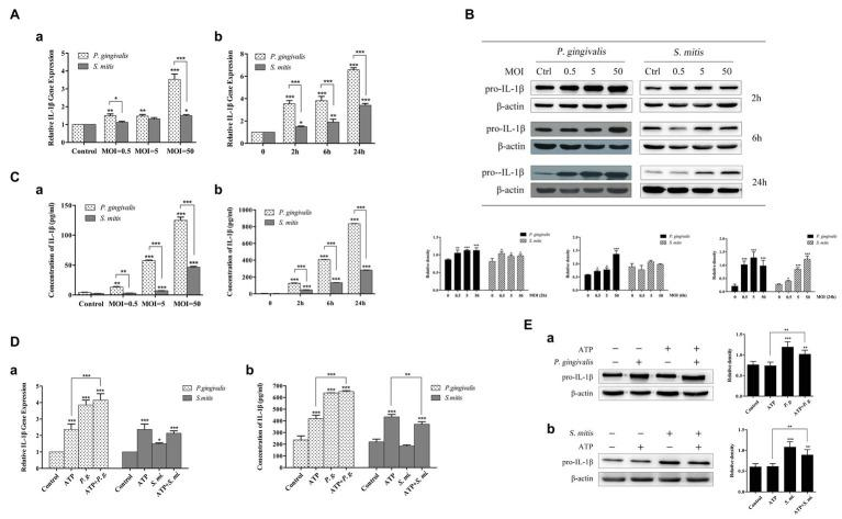 Treatment with Porphyromonas gingivalis more effectively stimulated production of IL-1β messenger RNA (mRNA), pro-IL-1β, and IL-1β protein than Streptococcus mitis . Adenosine 5'-triphosphate (ATP) in conjunction with P. gingivalis , but not S. mitis , exhibited an enhanced signaling on the induction of IL-1β expression. (A–C) Dose-dependent (MOI = 0.5, 5, and 50) and time course (2, 6, and 24 h) assay of phorbol-12-myristate-13-acetate (PMA)-primed THP-1 cells infected with P. gingivalis or S. mitis . IL-1β mRNA expression was measured by real-time qPCR (Aa,b) , intracellular pro-IL-1β was detected by immunoblotting (B) , and mature IL-1β secreted into supernatant was assayed by ELISA (Ca,b) . (D–E) PMA-primed THP-1 cells were infected with P. gingivalis or S. mitis (MOI = 50) with or without ATP for 2 h. IL-1β mRNA expression was measured by real-time PCR (Da) , mature IL-1β secreted into supernatant was assayed by ELISA (Db) , and intracellular pro-IL-1β was detected by immunoblotting (Ea,b) . Data of real-time qPCR and ELISA represent means ± SD of at least three independent experiments and results of immunoblot analysis were representative of at least three experiments. * p
